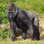 a-female-western-lowland-gorilla