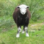 a-sheep
