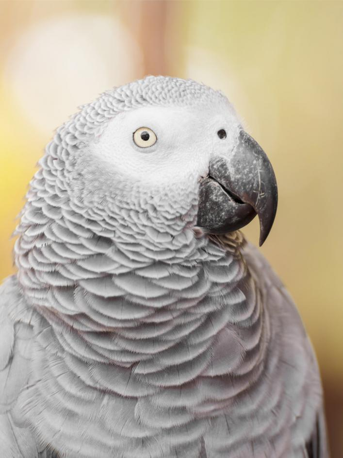 african-grey-parrot (1)
