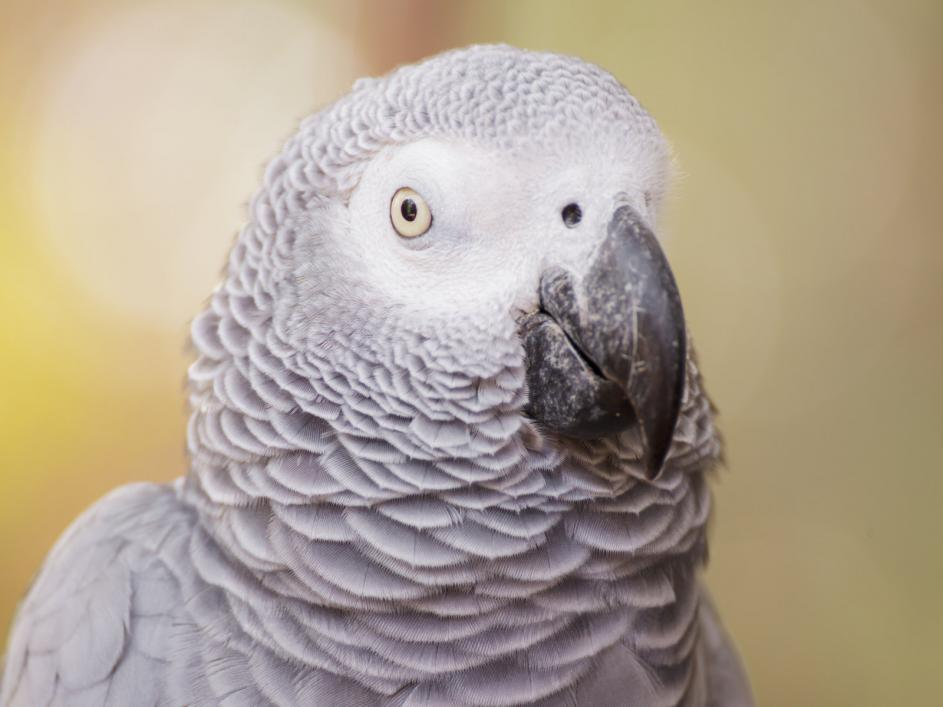 african-grey-parrot (2)