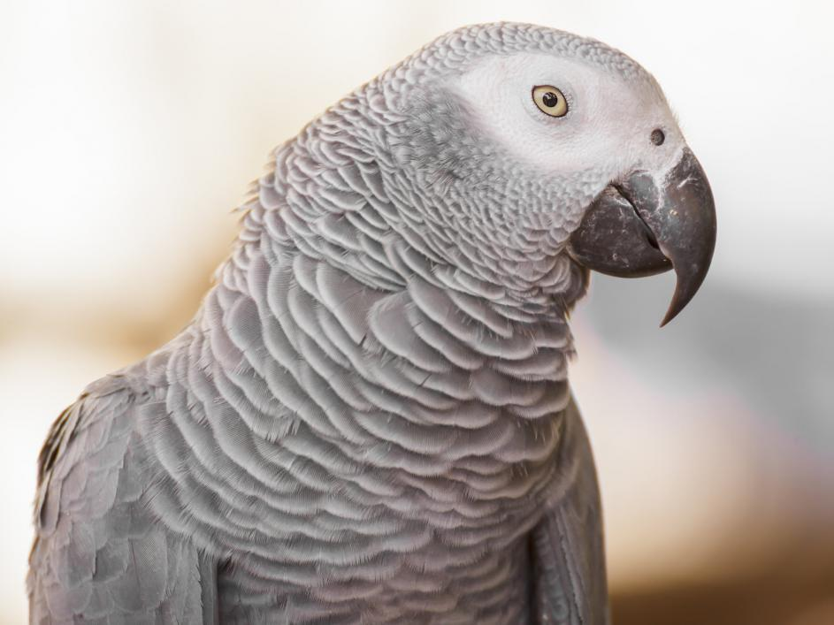 african-grey-parrot (3)