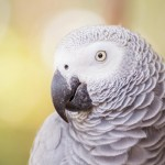 african-grey-parrot-closeup