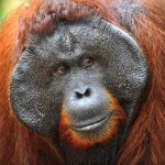 alpha-male-of-the-orangutan