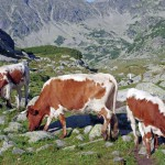 alpine-cows