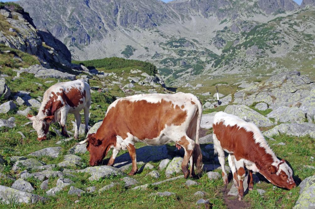 alpine-cows