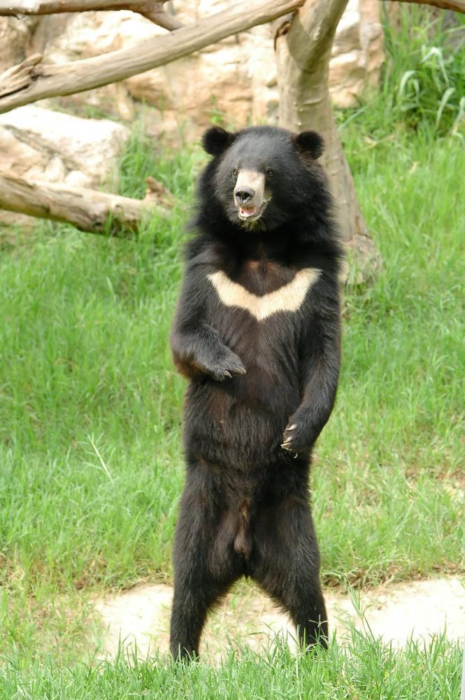 Tierpark Olderdissen Bielefeld: Affen, Bären, Elche, Rehe, Esel, Rinder, Bison, Rothirsch, Braunbär, Auerhahn, Pfau, Eulen, Wisent, Wildschweine, Hirschwild, Rotwild, Heimtiere, Wildtiere,  Öffnungszeiten, Anfahrt, Eintritt, Tiere, Restaurantasiatic-black-bear (1)