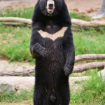 asiatic-black-bear