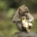 balinese-monkey