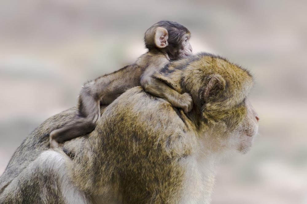 Tierpark Olderdissen Bielefeld: Affen, Bären, Elche, Rehe, Esel, Rinder, Bison, Rothirsch, Braunbär, Auerhahn, Pfau, Eulen, Wisent, Wildschweine, Hirschwild, Rotwild, Heimtiere, Wildtiere,  Öffnungszeiten, Anfahrt, Eintritt, Tiere, Restaurantbarbary-ape-with-baby