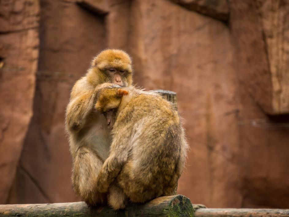 Tierpark Olderdissen Bielefeld: Affen, Bären, Elche, Rehe, Esel, Rinder, Bison, Rothirsch, Braunbär, Auerhahn, Pfau, Eulen, Wisent, Wildschweine, Hirschwild, Rotwild, Heimtiere, Wildtiere,  Öffnungszeiten, Anfahrt, Eintritt, Tiere, Restaurantbarbary-macaque-grooming