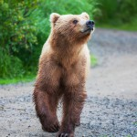 bear-on-alaska (1)