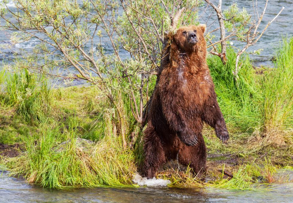 bear-on-alaska