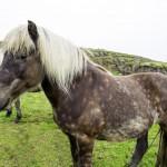 beautiful-icelandic-horses