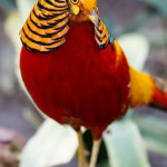 beautiful-male-golden-pheasant-bird