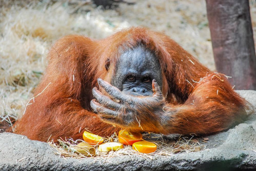 Tierpark Olderdissen Bielefeld: Affen, Bären, Elche, Rehe, Esel, Rinder, Bison, Rothirsch, Braunbär, Auerhahn, Pfau, Eulen, Wisent, Wildschweine, Hirschwild, Rotwild, Heimtiere, Wildtiere,  Öffnungszeiten, Anfahrt, Eintritt, Tiere, Restaurantbig-orangutan