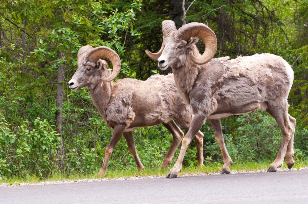 bighorn-sheeps-walking