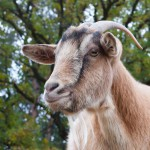billy-goat-portrait (1)