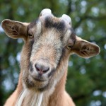billy-goat-portrait