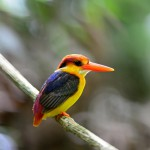 black-backed-kingfisher