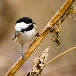 black-capped-chickadee (1)
