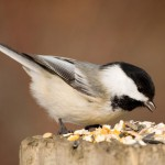 black-capped-chickadee (2)