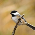 black-capped-chickadee (3)