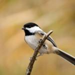 black-capped-chickadee (3)