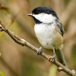 black-capped-chickadee (4)