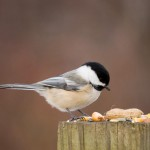 black-capped-chickadee (5)