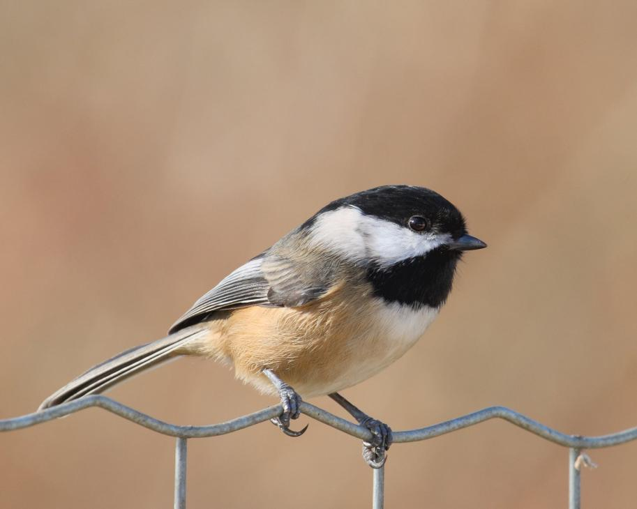 black-capped-chickadee (6)