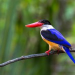 black-capped-kingfisher (1)