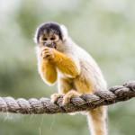 black-capped-squirrel-monkey