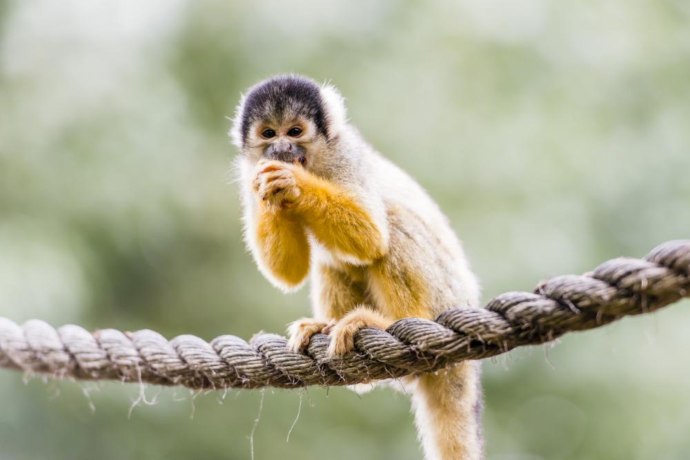 black-capped-squirrel-monkey