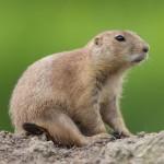 black-tailed-prairie-dog-cynomys-ludovicianus