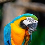 blue-and-gold-macaw (2)
