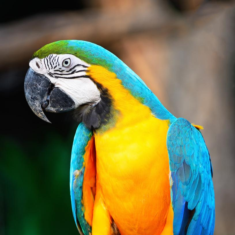 blue-and-gold-macaw (3)
