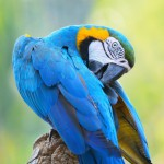 blue-and-gold-macaw (4)