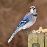 blue-jay (1)