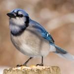 blue-jay (2)