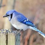 blue-jay (4)
