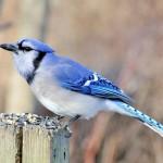 blue-jay (6)