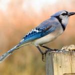 blue-jay (8)