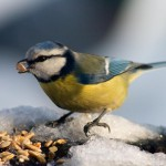 blue-tit-bird-eating-seeds