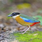 blue-winged-pitta (1)