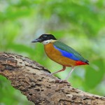 blue-winged-pitta (2)
