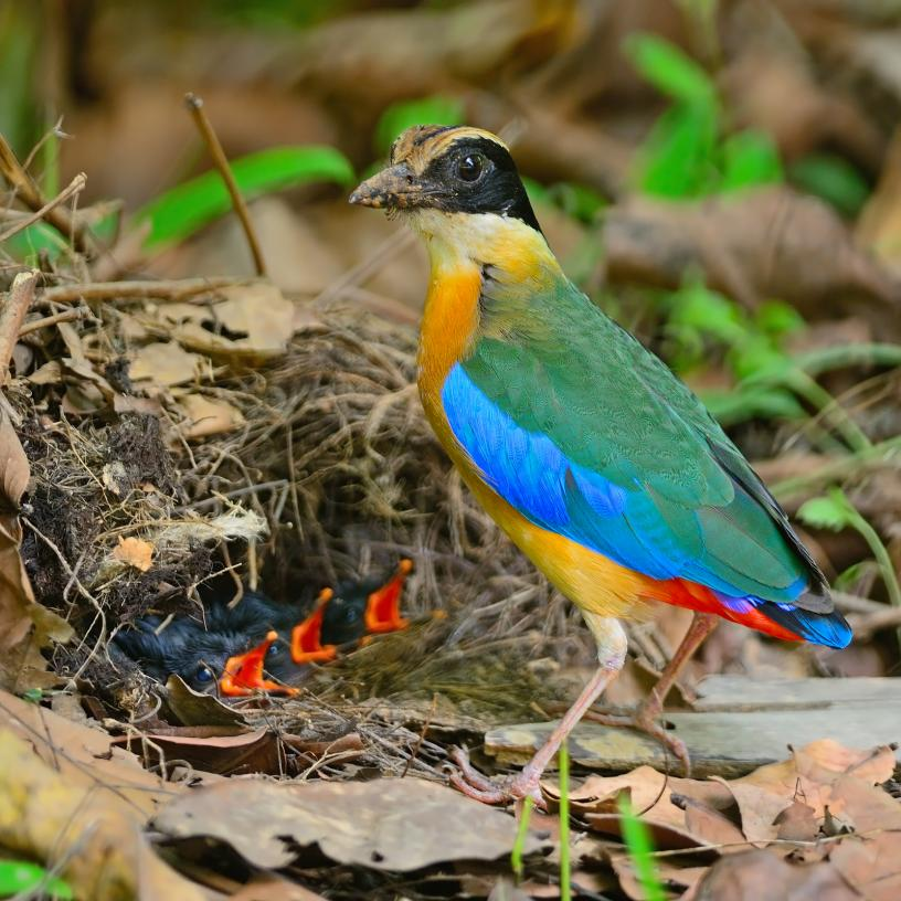 blue-winged-pitta (3)