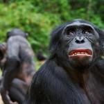 bonobo-pan-paniscus-portrait