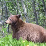 brown-bear (1)
