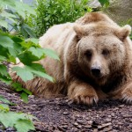 brown-bear (2)