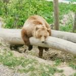 brown-bear-in-bear-park-of-bern-switzerland